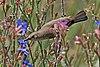 Palestine sunbird (Cinnyris osea osea) female.jpg
