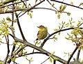 Palm warbler (5799906112).jpg