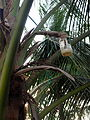 Palm wine bottle on palm.jpg