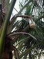 Palm wine bottle on palm.jpg