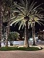 Palma Phoenix canariensis San Benedetto del Tronto.jpg
