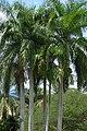 Palma real o botella (Roystonea regia) (14428515228).jpg