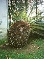 PalmeiraBenfica(detalhe2).jpg