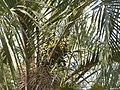 Palmera en Fortín Olavarría (planta 01) foto 02 Probablemente Butia yatay (Cabral y Castro 2007).JPG