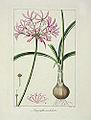 Pancrace Bessa 04 Amaryllis undulata.jpg