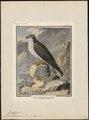 Pandion haliaëtus - 1700-1880 - Print - Iconographia Zoologica - Special Collections University of Amsterdam - UBA01 IZ18100279.tif