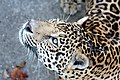 Panthera onca2.jpg