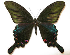 Papilio bianor male.JPG