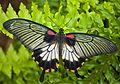 Papilio memnon2.jpg