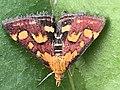 Papillon Pyrausta purpuralis observé à Saint-Maurice-de-Beynost dans l'Ain en juillet 2019 (5).jpg