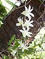 Par 3 Dendrobium Cremenatum Nov 2007 (Dove,The Pigeon Shaped Orchid,The Purse-Shaped Dendrobium,The Bag Shaped Dendrobium etc ) - panoramio.jpg