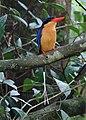 Paradise Kingfisher (31968442792).jpg