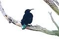Paradise Riflebird (Ptiloris paradiseus) (31418919975).jpg