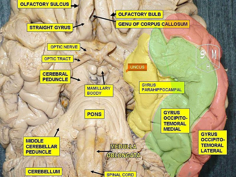 File:Parahippocampal gyrus.jpg