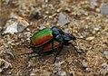 Parc Natural del Garraf 53 - escarabats amorosos - escarabajos amorosos - loving scarabs - Calosoma sycophanta (2582299718).jpg