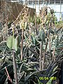 Partridge Breast Aloe (Aloe variegata) (3424130753).jpg