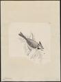 Parus cristatus - 1700-1880 - Print - Iconographia Zoologica - Special Collections University of Amsterdam - UBA01 IZ16100155.tif