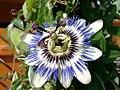 Passiflora Passionsblume.jpg
