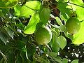 Passiflora edulis 0002.jpg
