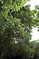 Passiflora quadrangularis 11zz.jpg