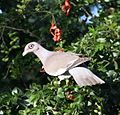 Patagioenas corensis - Bare-eyed Pigeon - Venezuelankyyhky IMG 1015 C (cropped).JPG