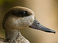 Patagonian Crested duck close-up.jpg