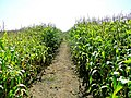Path through the corn - geograph.org.uk - 1481434.jpg