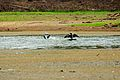 Pato pescando en burro negro2.jpg