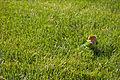 Peachfaced Lovebird in grass.jpg
