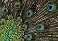 Peacock (11) (8315376663).jpg