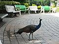 Peacock (Pavo cristatus).jpg