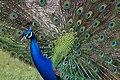 Peacock 2 (7110721263).jpg