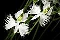 Pecteilis radiata fma. variegata '金星 - Kinboshi' (Thunb.) Raf., Fl. Tellur. 2 38 (1837) (50296151322).jpg