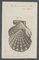 Pecten nodosus - - Print - Iconographia Zoologica - Special Collections University of Amsterdam - UBAINV0274 075 01 0033.tif