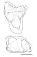 Pediomys molars.png