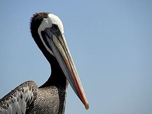 Peruvian pelican - Image: Pelecanus thagus Pan de Azucar National Park, Atacama Region, Chile head 8