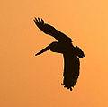 Pelican silhouette (3302783317).jpg