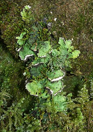 Peltigera - Peltigera leucophlebia