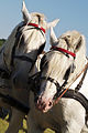 Percherons Blancs Cl J Weber0010 (23456656403).jpg