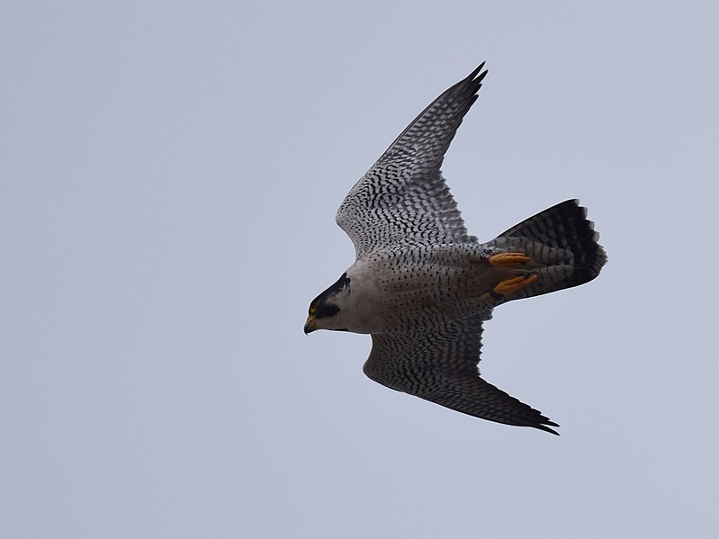 File:Peregrine Falcon (32211893995).jpg