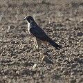 Peregrine Falcon (8155926928).jpg