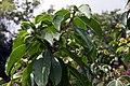 Pereskia grandifolia 27zz.jpg