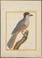 Perisoreus infaustus - 1700-1880 - Print - Iconographia Zoologica - Special Collections University of Amsterdam - UBA01 IZ15700023.tif