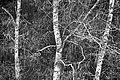 PermaLiv Stysjin-bjørk 11-05-20.jpg