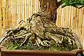 Pescia, museo del bonsai, podocarpus macrophyllus, stile moyogi (eretto informale), dalla cina, circa 70 anni 02.jpg
