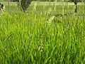 Phalaris arundinacea (3883207634).jpg