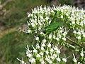Phaneropterinae - Grillo de matorral (14666087308).jpg
