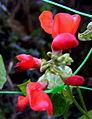 Phaseolus coccineus flor2.JPG