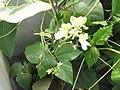 Phaseolus lunatus-xavier cottage-yercaud-salem-India.JPG