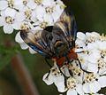 Phasia hemiptera (Shieldbug Fly) - male - Flickr - S. Rae (5).jpg
